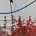 Photos: 雀と紅葉