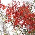 Photos: 庭先の紅葉_1