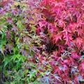 Photos: 庭先の紅葉_2