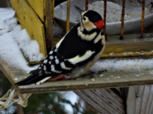 珍客「赤啄木鳥」