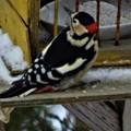 Photos: 珍客「赤啄木鳥」