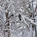 Photos: 大雪のエゾヒヨドリ_1