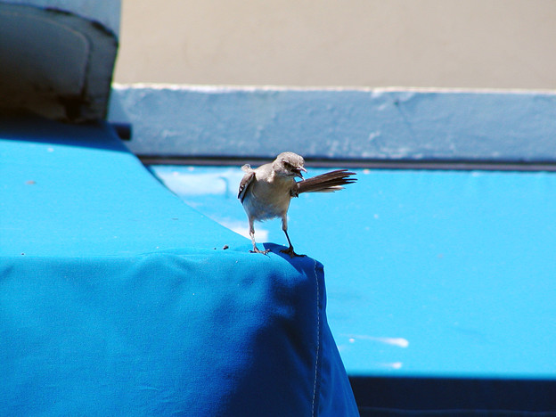 マイアミの野鳥