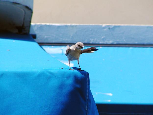 マイアミの野鳥 #1