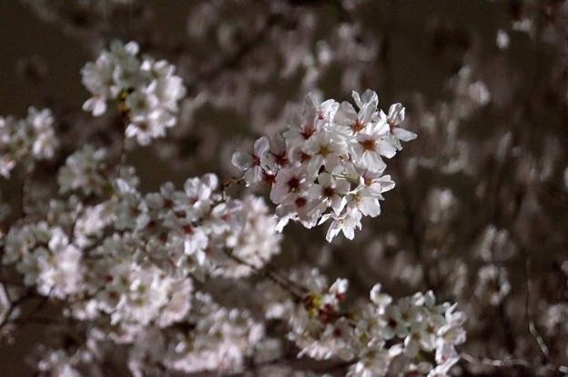 夜桜 #3