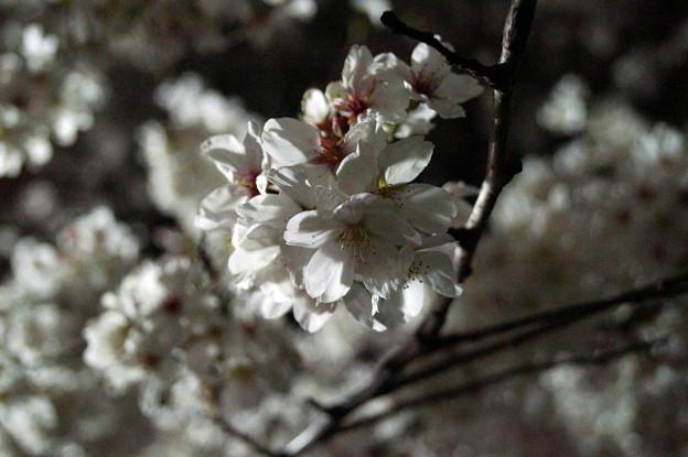 夜桜 #10