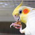 Photos: 器用に粟穂を持つあくびちゃんです