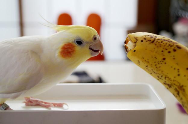 大好きなバナナと見つめ合うあくびちゃん