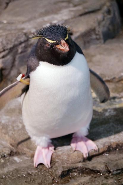 イワトビペンギン@海遊館