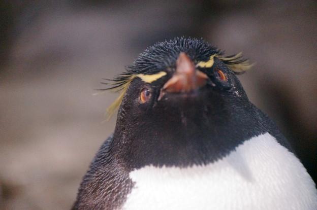 イワトビペンギン@海遊館 #3