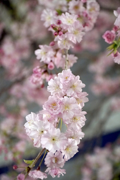 夜桜 #1 @尾久の原公園