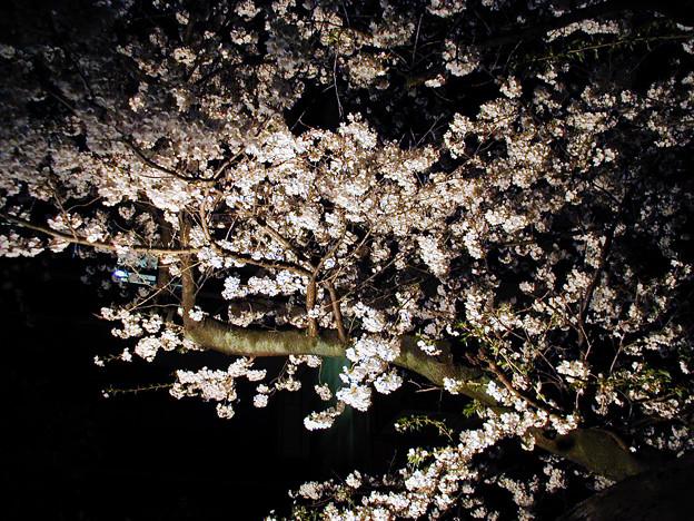夜桜 #2@西日暮里