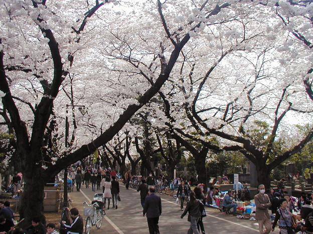 谷中霊園 桜 #1