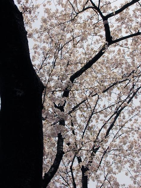 谷中霊園 桜#5