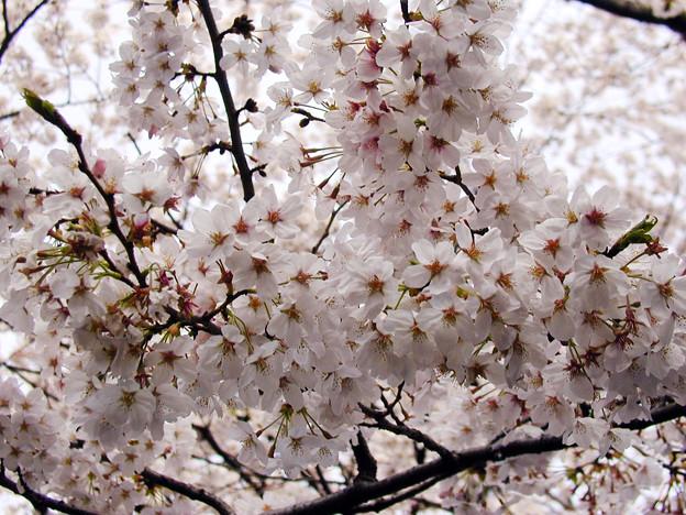 上野公園 桜#4