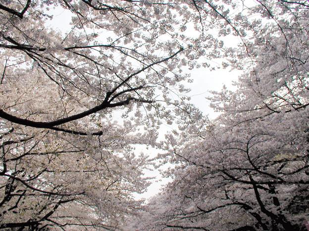 上野公園 桜#6