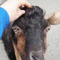 Photos: ミミナガヤギ(オス)@熊本市動植物園