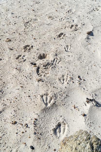 野生のケープペンギンの足跡2