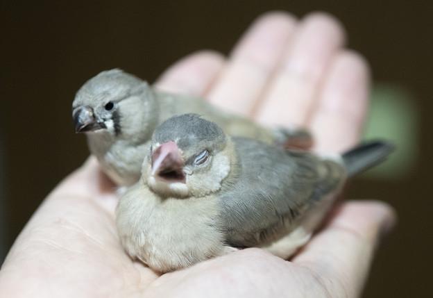 はなぶさ堂 小鳥茶会 #11