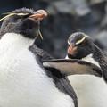 Photos: 旭山動物園 イワトビペンギン