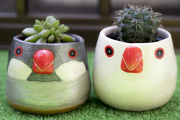 文鳥植木鉢