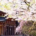 Photos: 散る春