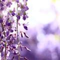 Photos: 藤の季節