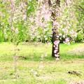 Photos: 枝垂れ桜葉桜
