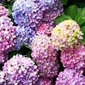 Photos: 色とりどりの紫陽花