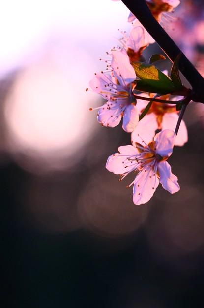 山桜に夕日射す