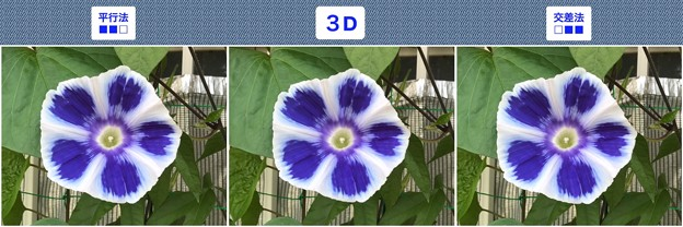 [3D]曜白朝顔3