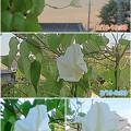 Photos: 8/18-19 朝の夜顔