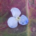 花> ルリ クワガタ:3枚!の花びら:なみより-1枚←2 (2)