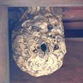 Photos: 蜂の巣:1月下旬に撮りました←6 (2)