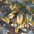 黄変の葉> ツバキ←9