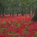 写真: 花の絨毯