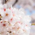 写真: 綺麗に咲いたね。