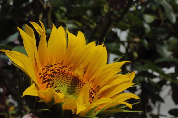 自宅の向日葵