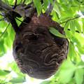写真: 蜂の巣