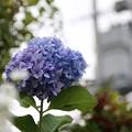 Photos: 秋の紫陽花