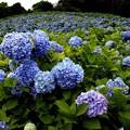 Photos: 赤坂公衆園の紫陽花