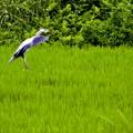 Photos: アオサギ