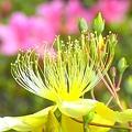 写真: 黄色い花~(コボウズオトギリ)