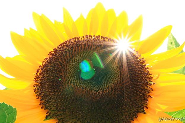 ひまわりと太陽