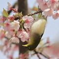 写真: 寒桜メジロ
