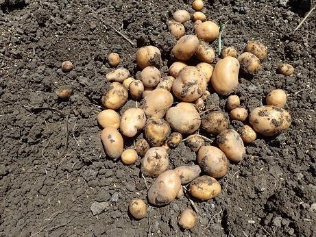 ジャガイモ収穫1(縮小)