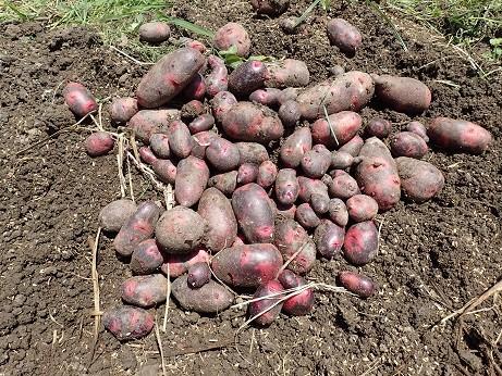 ジャガイモ収穫2(縮小)