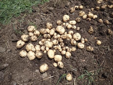 ジャガイモ収穫3(縮小)