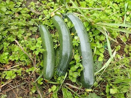 収穫野菜1(縮小)