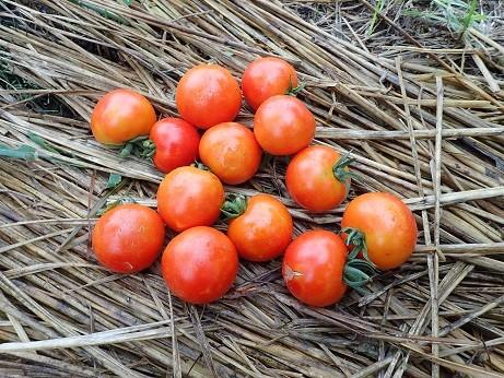 収穫野菜5(縮小)